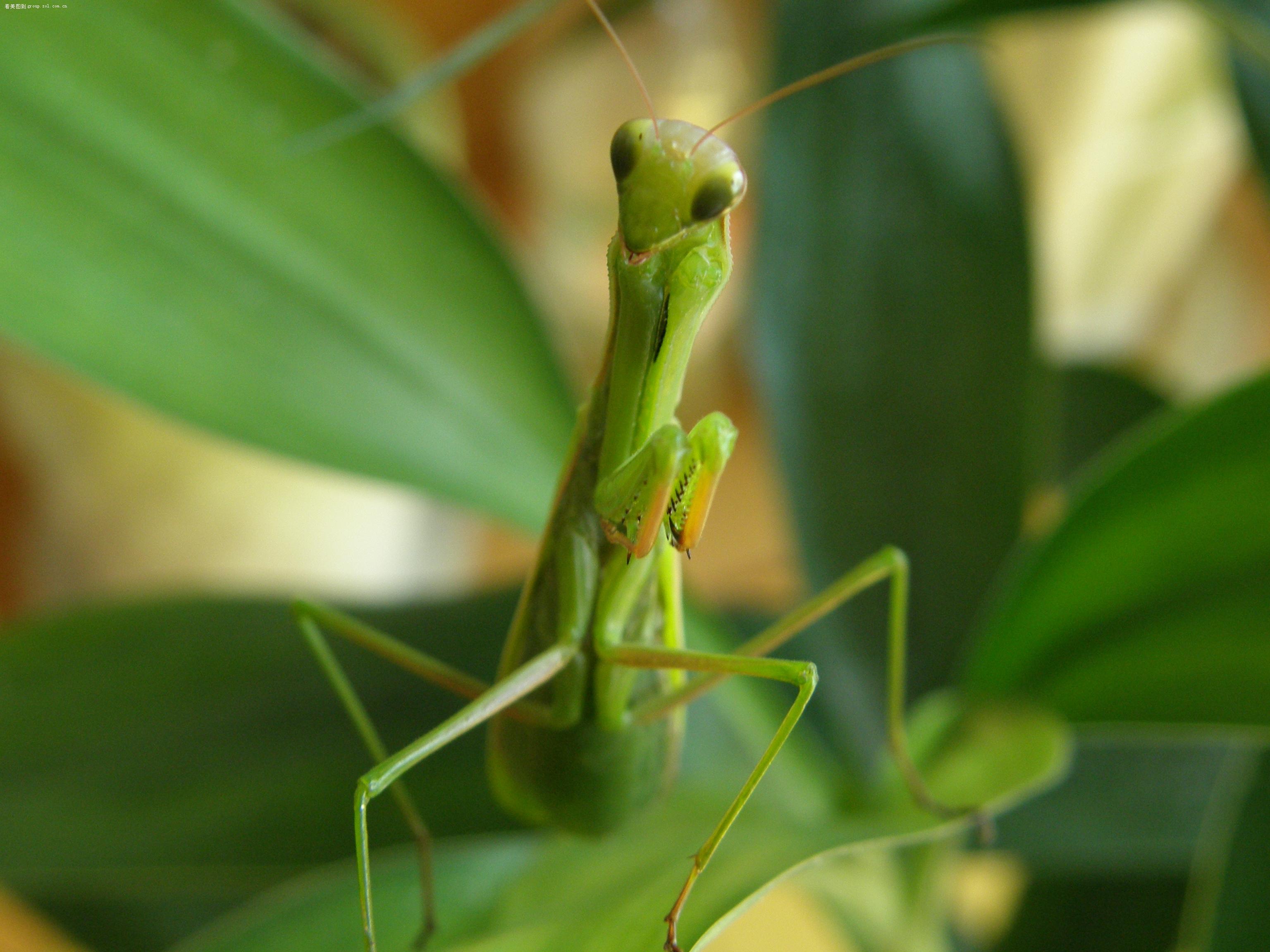 【我的宠物--螳螂(-_-)】动物植物-数码摄影论坛-zol