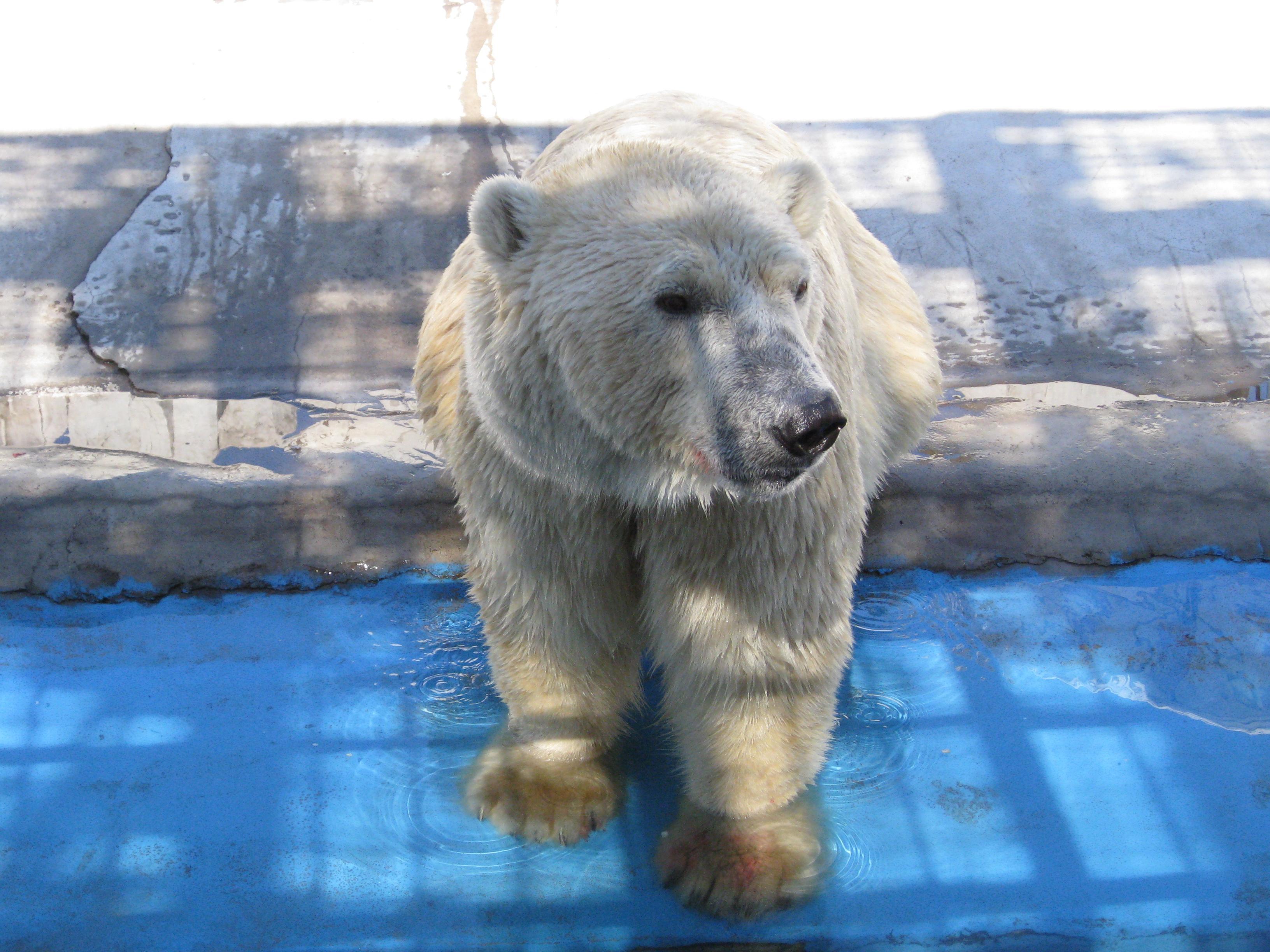 【沈阳棋盘山森林野生动物园游览图片之北极熊抓鱼篇