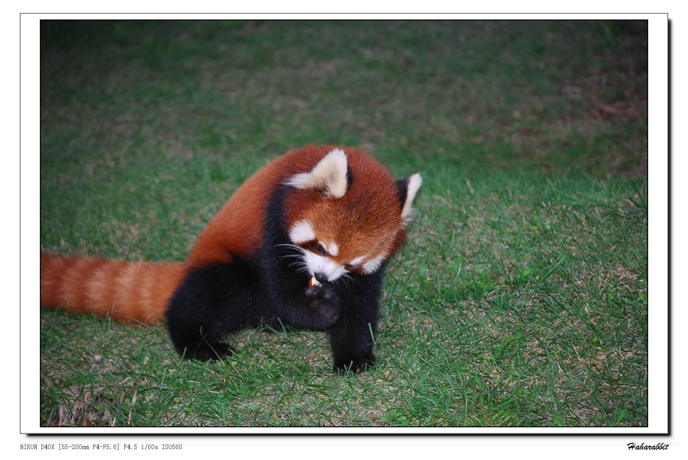 【大连森林动物园之实拍小猫熊吃枣】动物植物--zol