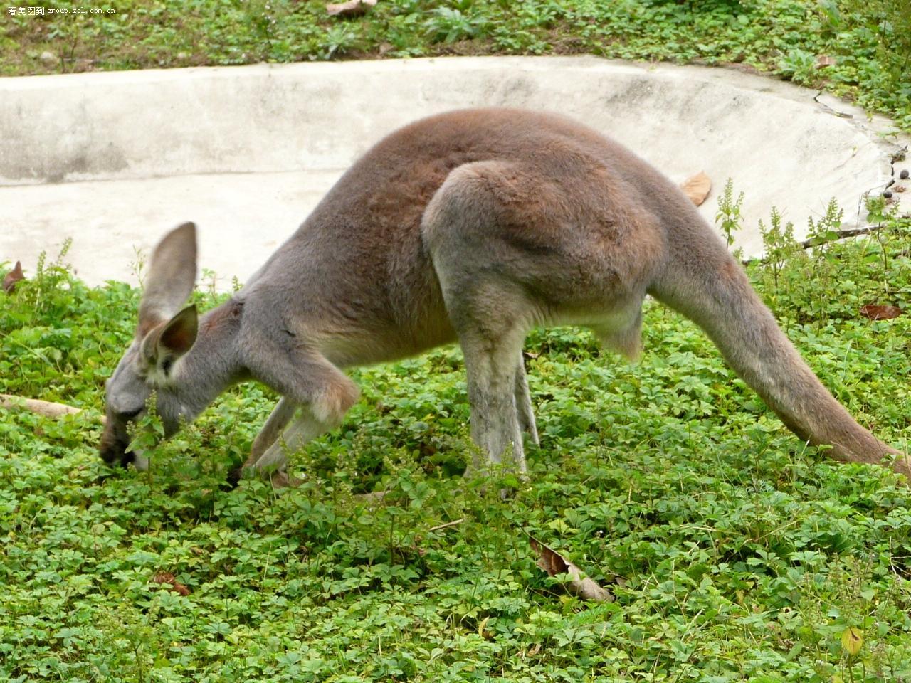 带你去游--西安野生动物园之七---袋鼠