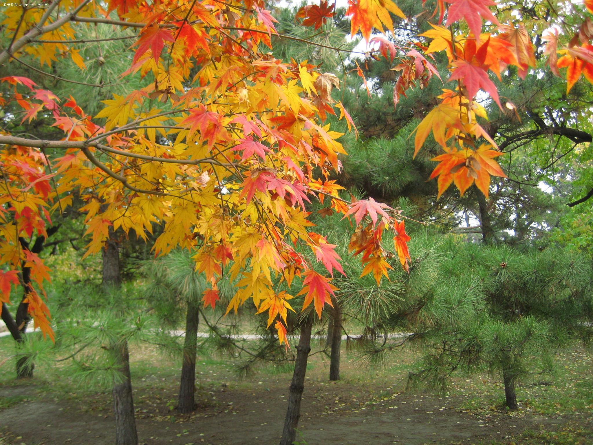 秋天的落叶像一个个黄衣少女,婀娜多姿,翩翩起舞.秋天.图片