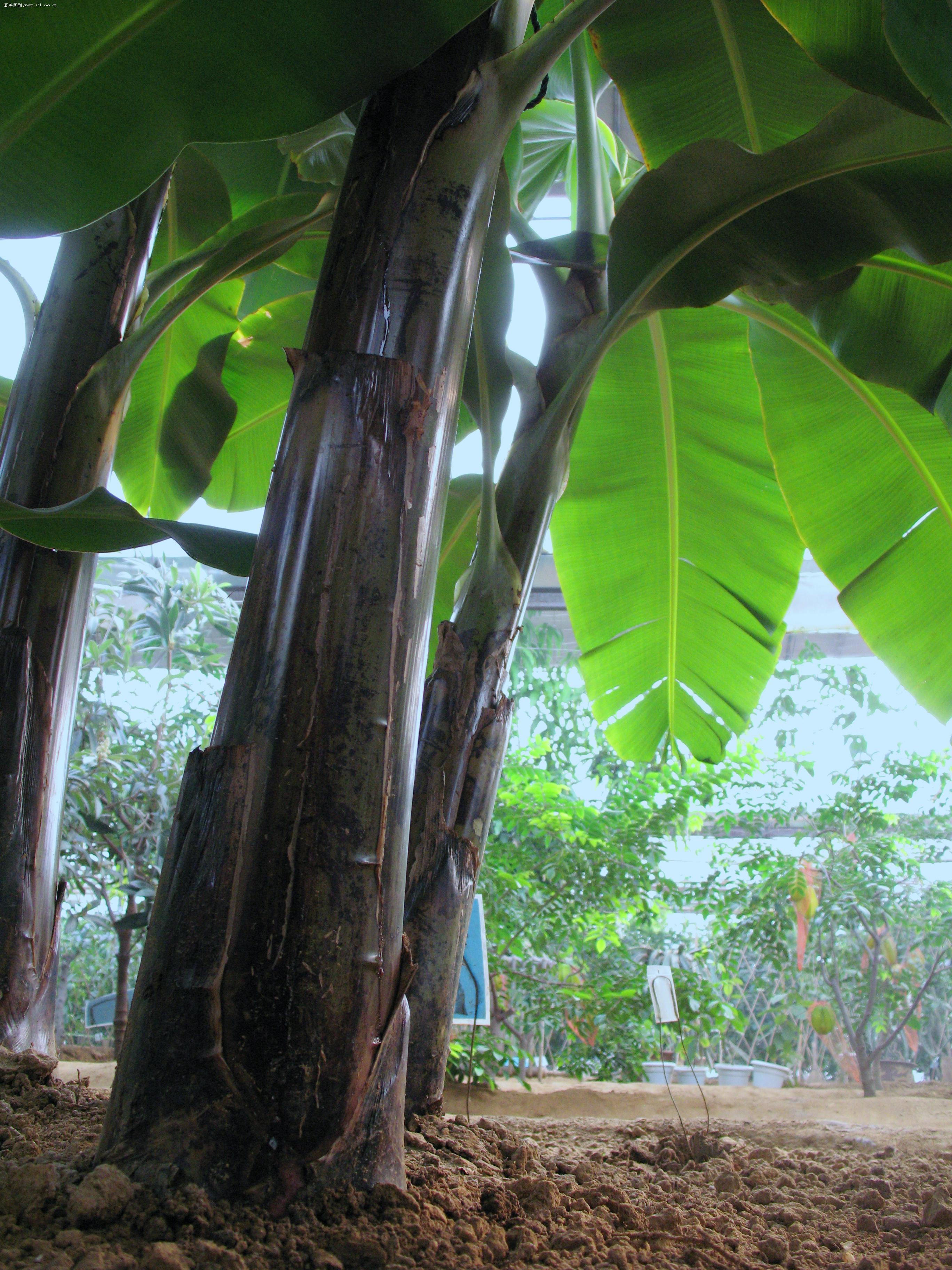 仰拍的香蕉树林 - 佳能 powershot a640 数码相机 - 小熊比价网产品论