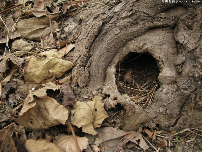 门口有棵梧桐树,是一棵小树包裹了原来的老树墩,老树墩腐烂了,刺猬一