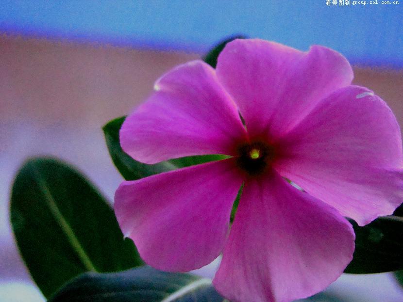 紫色叶子植物盆景;