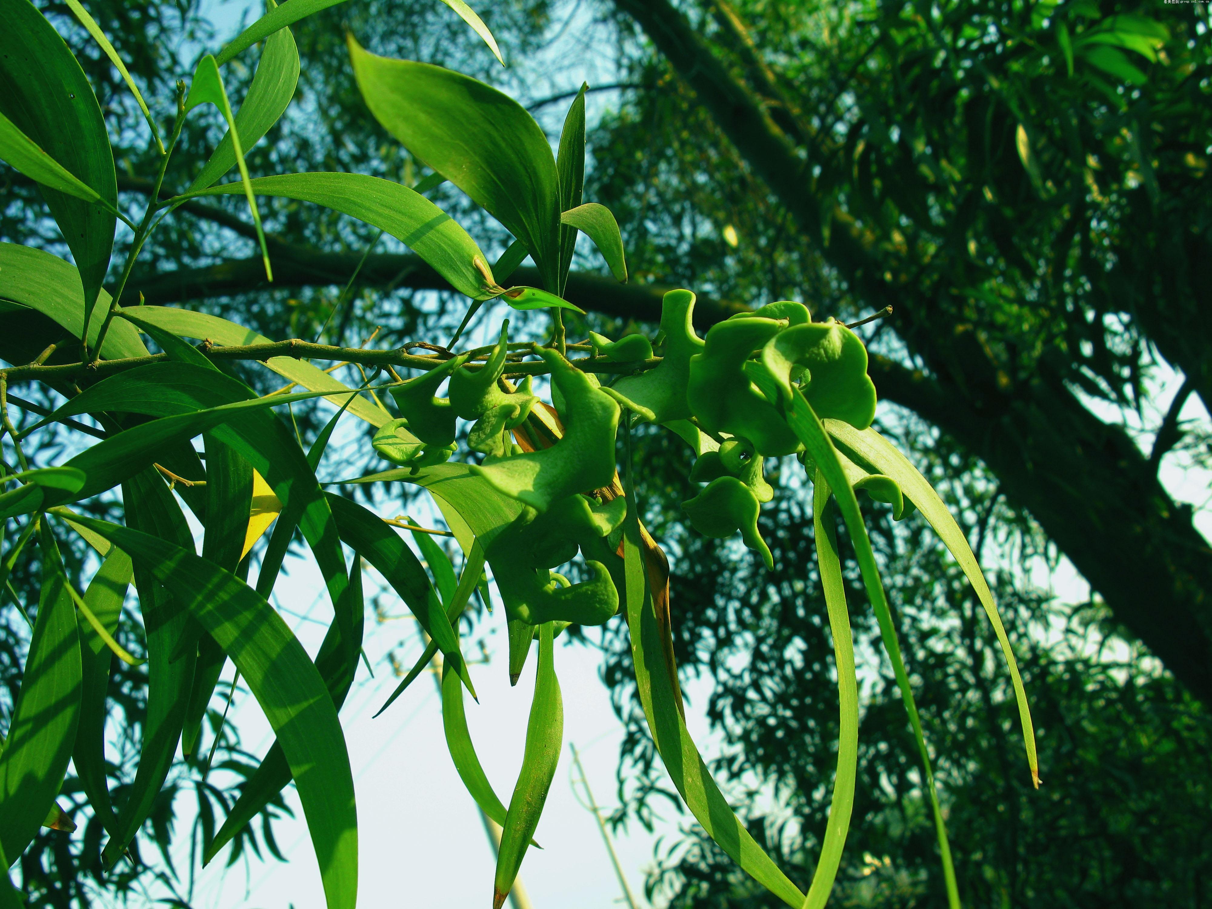 树干上长绿色果实的树