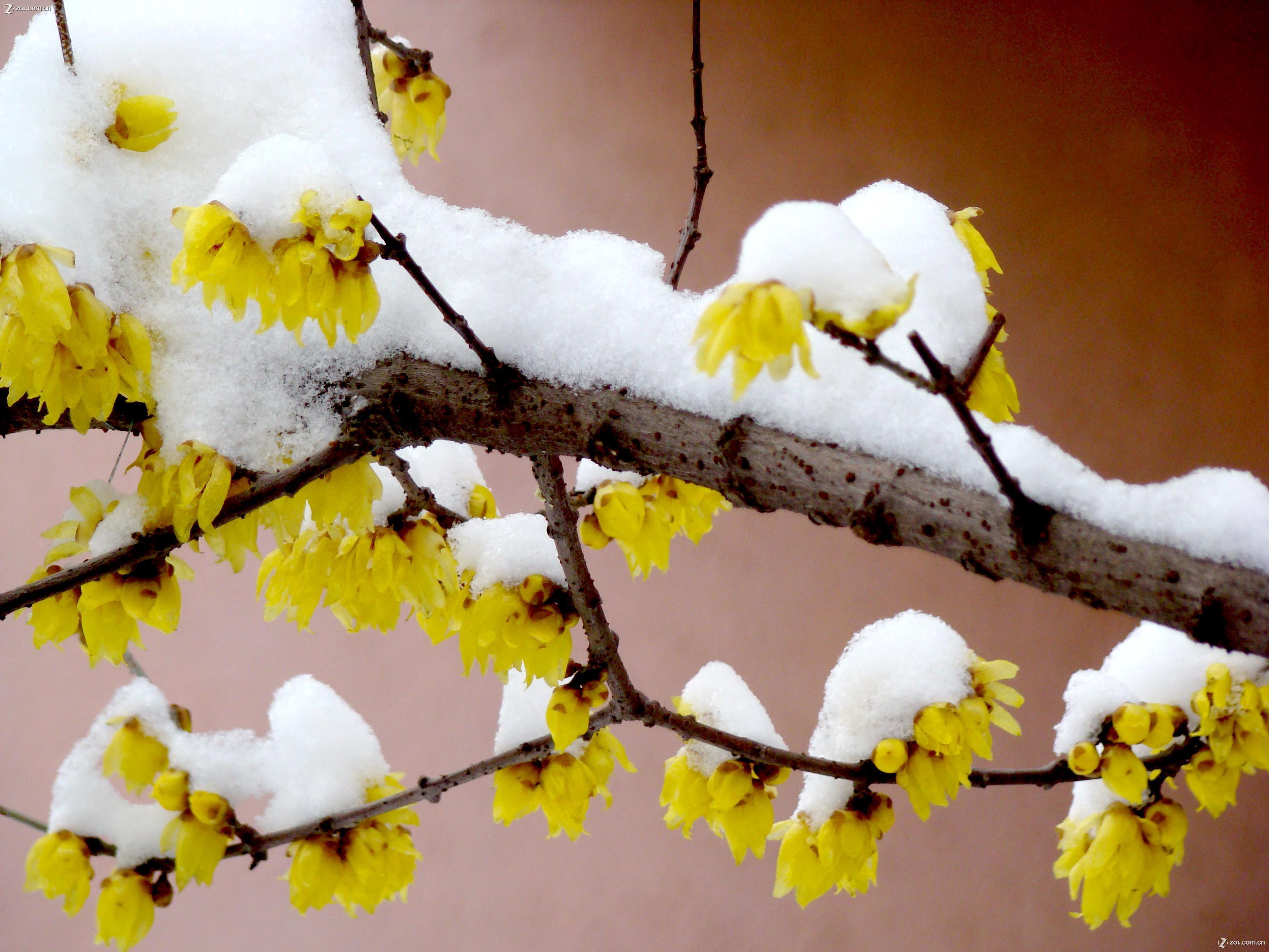 【雪后的梅花】-动物植物论坛-zol中关村在线