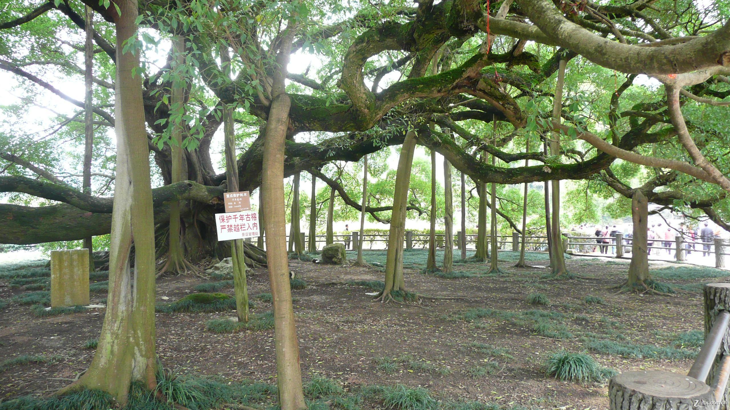 【大榕树的大】自然风景--zol中关村在线
