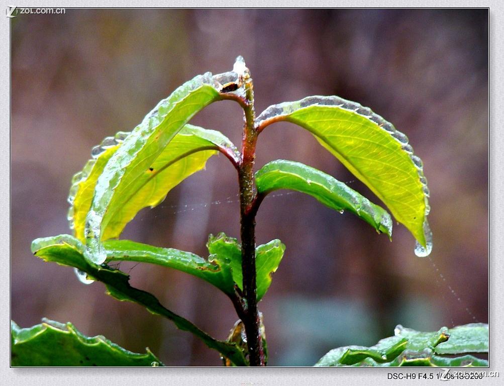 15,黄,绿色的冰树叶,褐色的枝干.