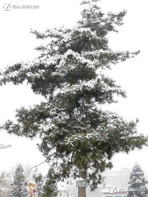【大雪压青松----2】-论坛-ZOL中关村在线
