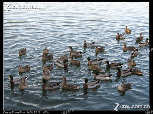 后海野鸭岛-中关村在线摄影论坛
