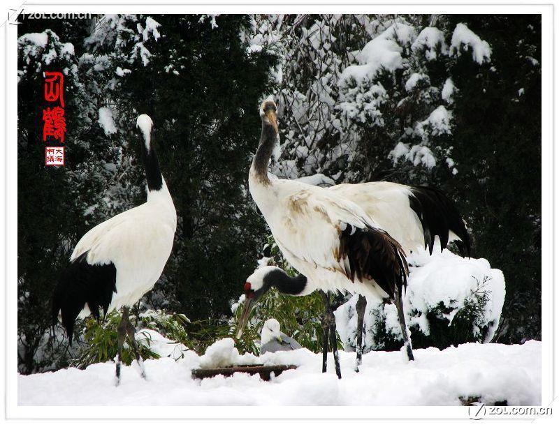 【雪地仙鹤】-动物植物论坛-zol中关村在线