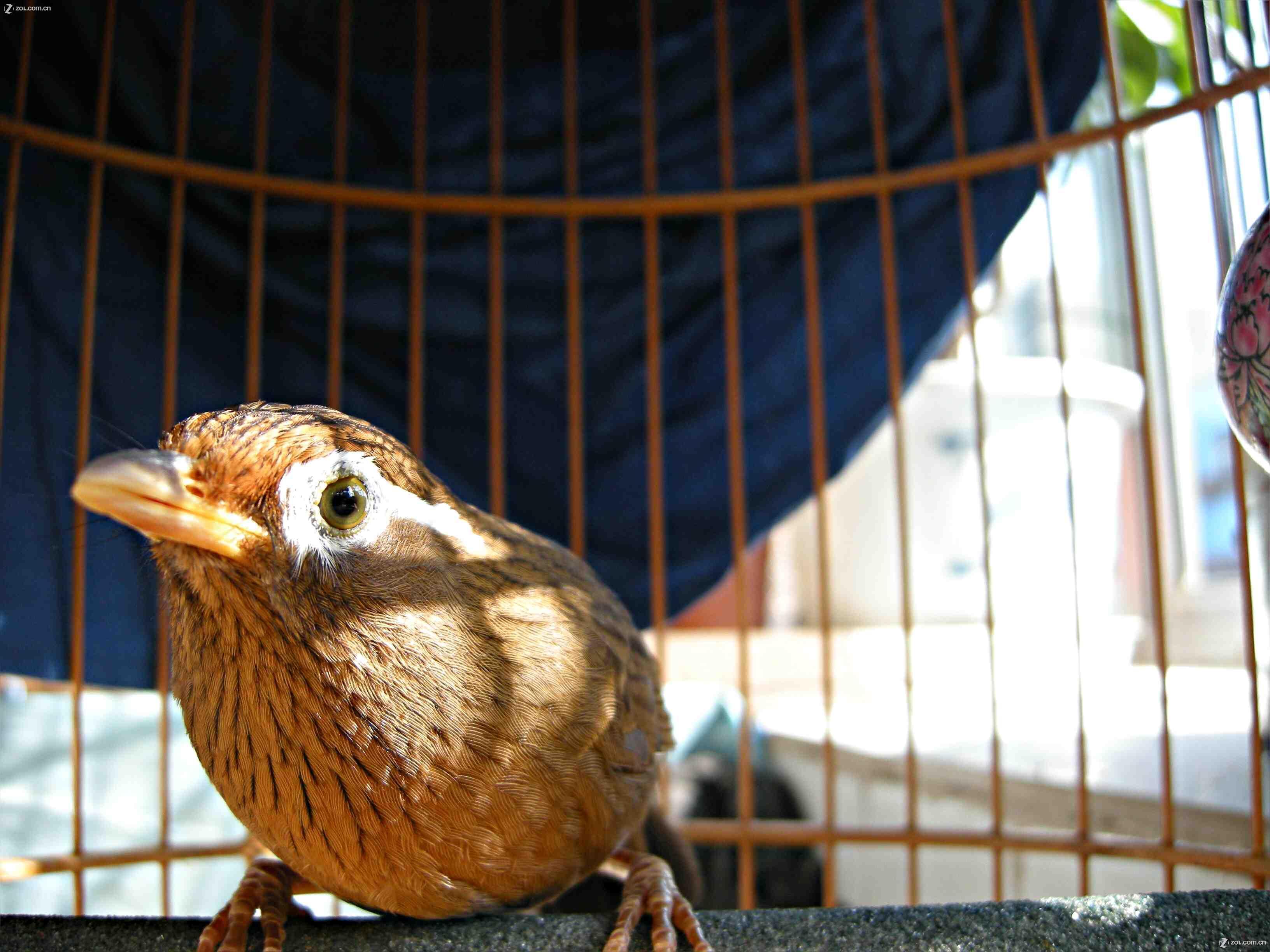 ... 鸟狂叫声 画眉打鸟什么头形最凶-涩涩爱_涩涩爱图片