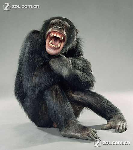 猴子大笑表情分享展示图片