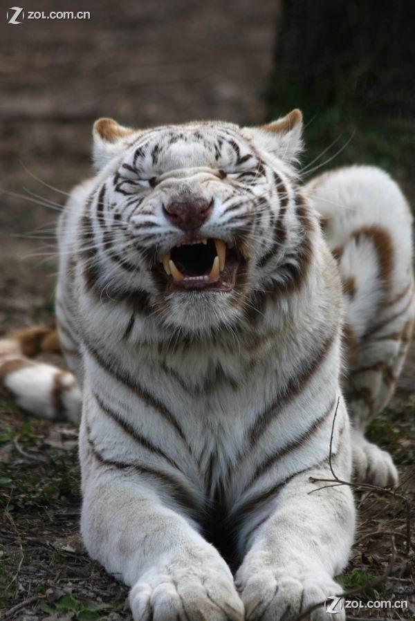 *&**实拍动物园珍稀动物--白老虎(40d原片)**&*