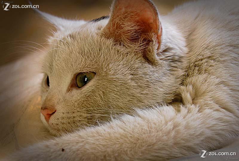 【一只刚睡醒的猫】动物植物-数码摄影论坛-zol