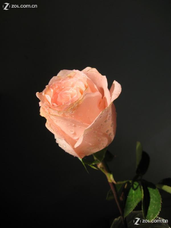 超清手机壁纸玫瑰花黑色