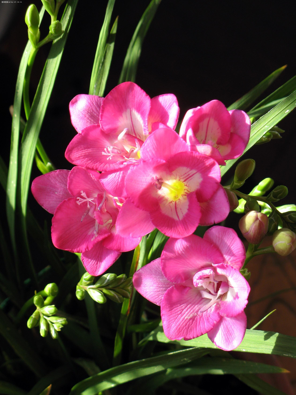 美丽的香雪兰 - 红柳 - 红柳花开