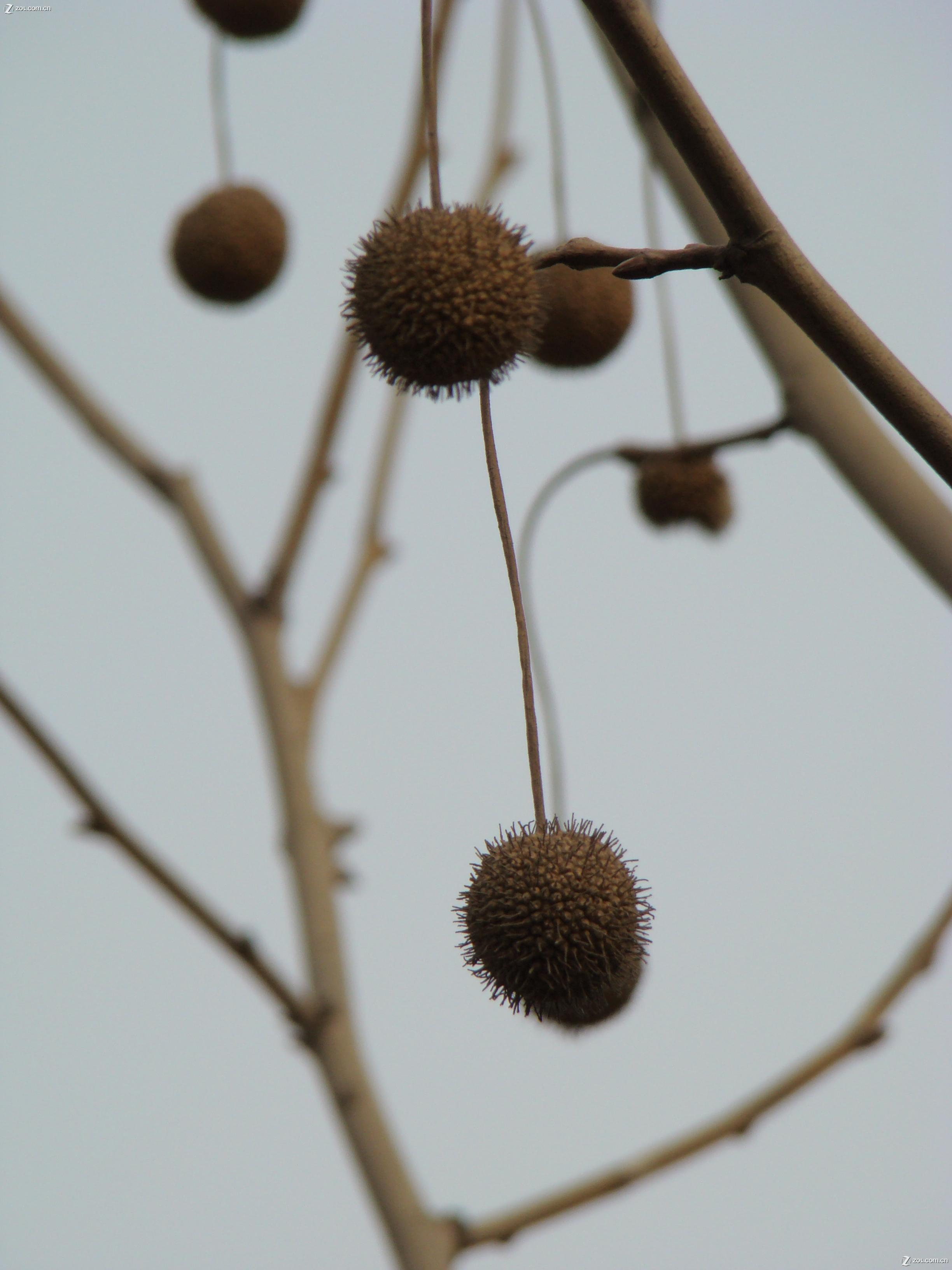 法国梧桐树的果实