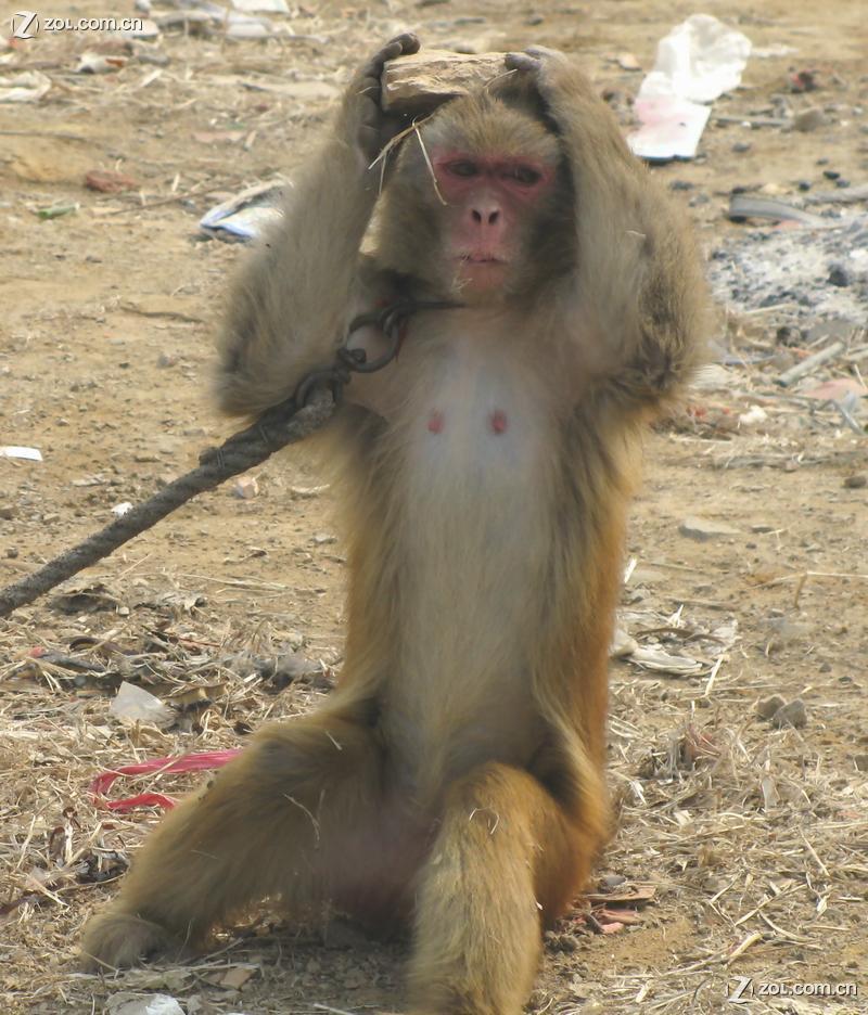 救救小猴母子两个吧……可怜的两只猴子,谁来救救它们