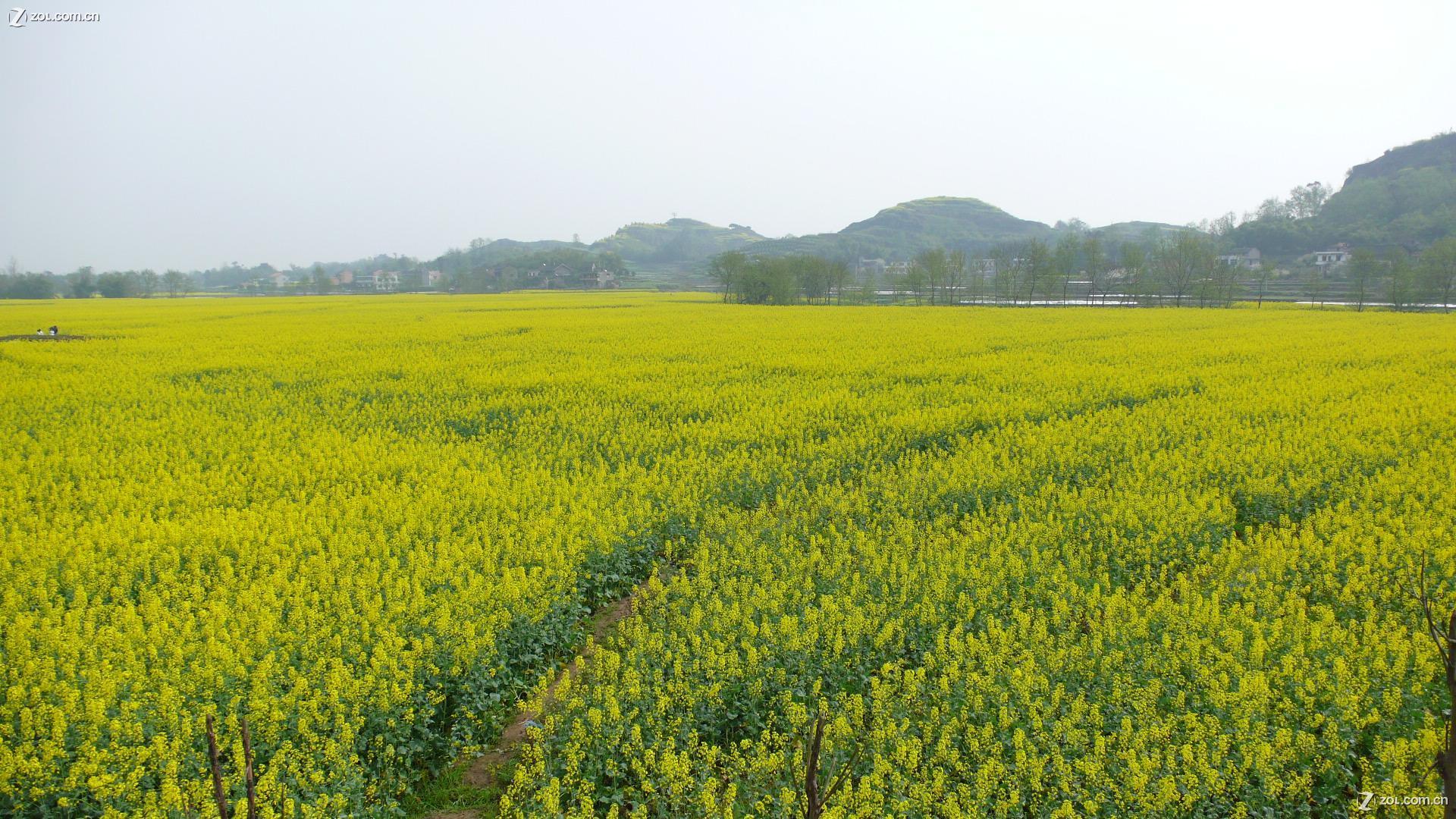 【重庆垫江县沙平镇的油菜花】自然风景--zol中关村