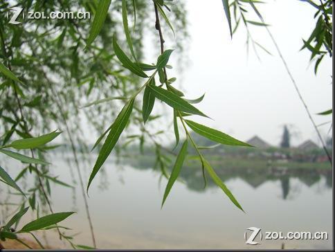 初春,发芽的柳树和灌木叶上的水珠.