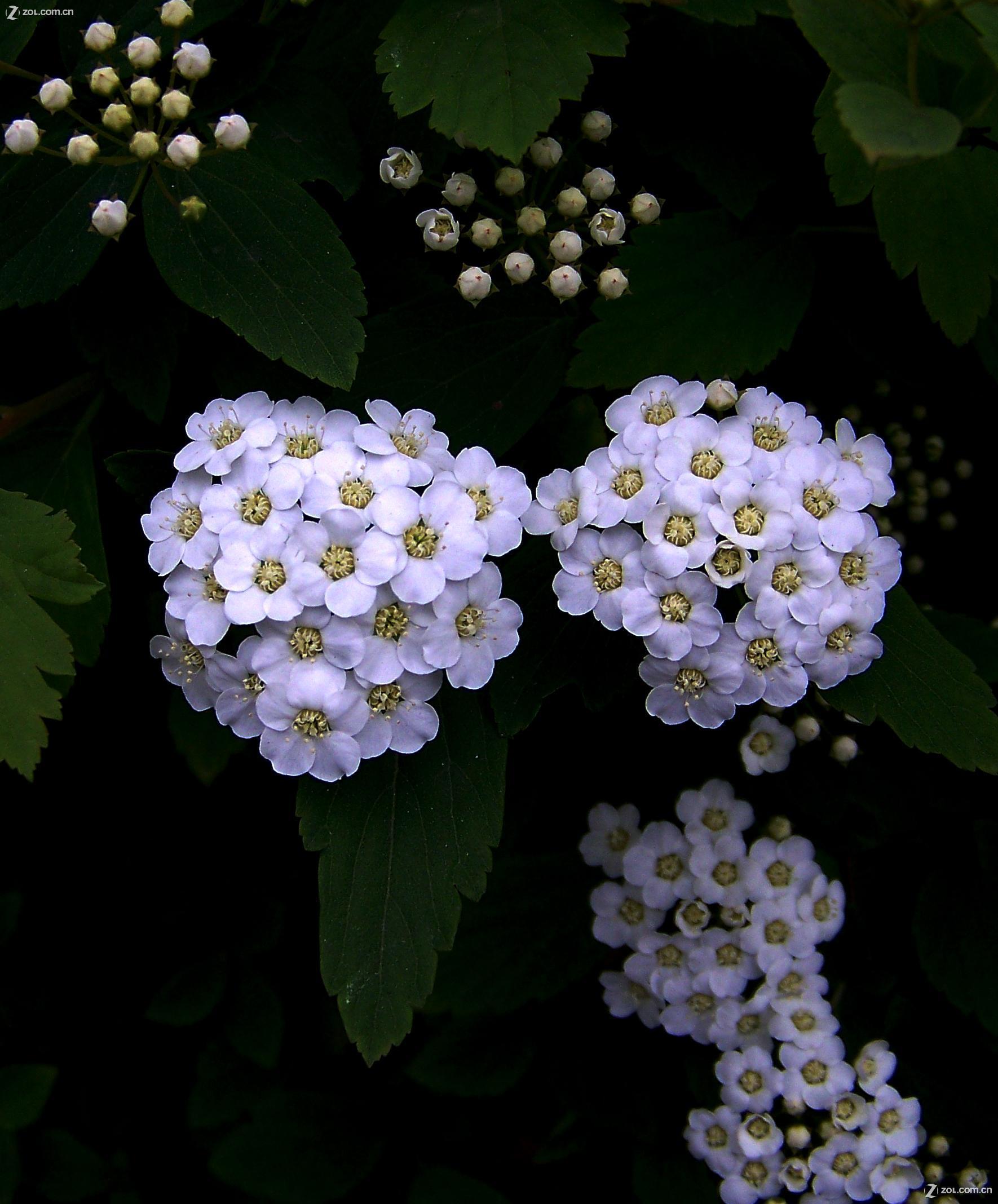 【漂亮的小白花】-柯达