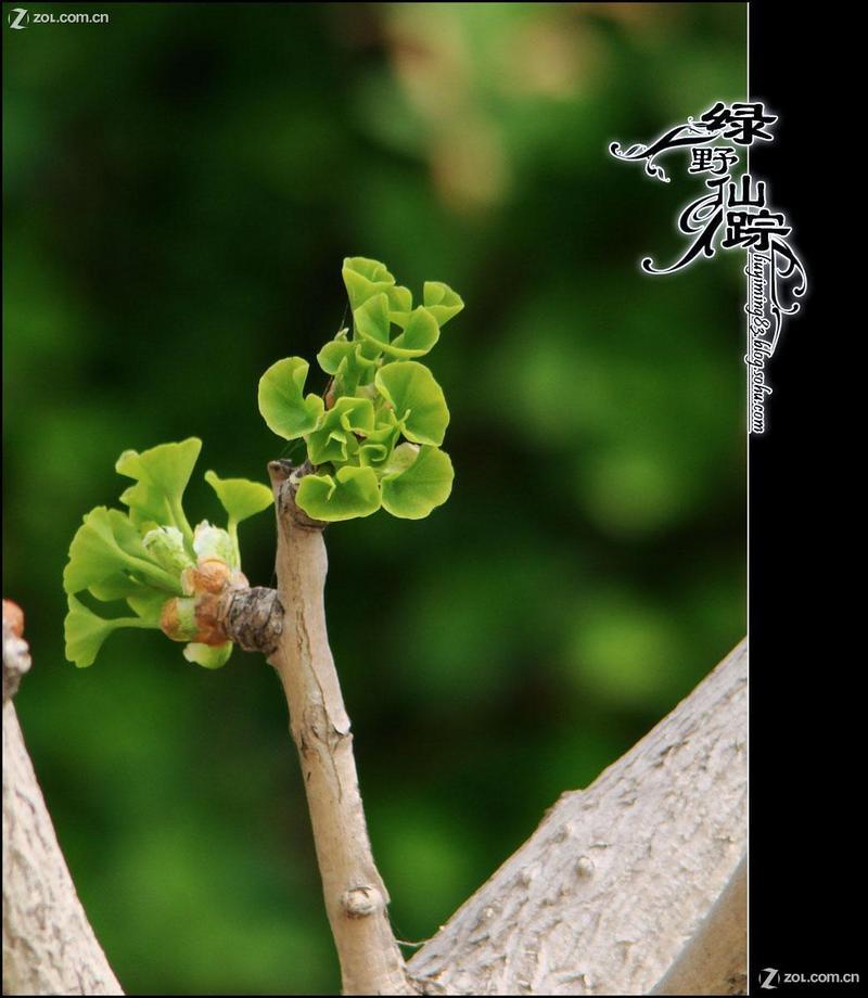【春天的银杏】-动物植物论坛-zol中关村在线