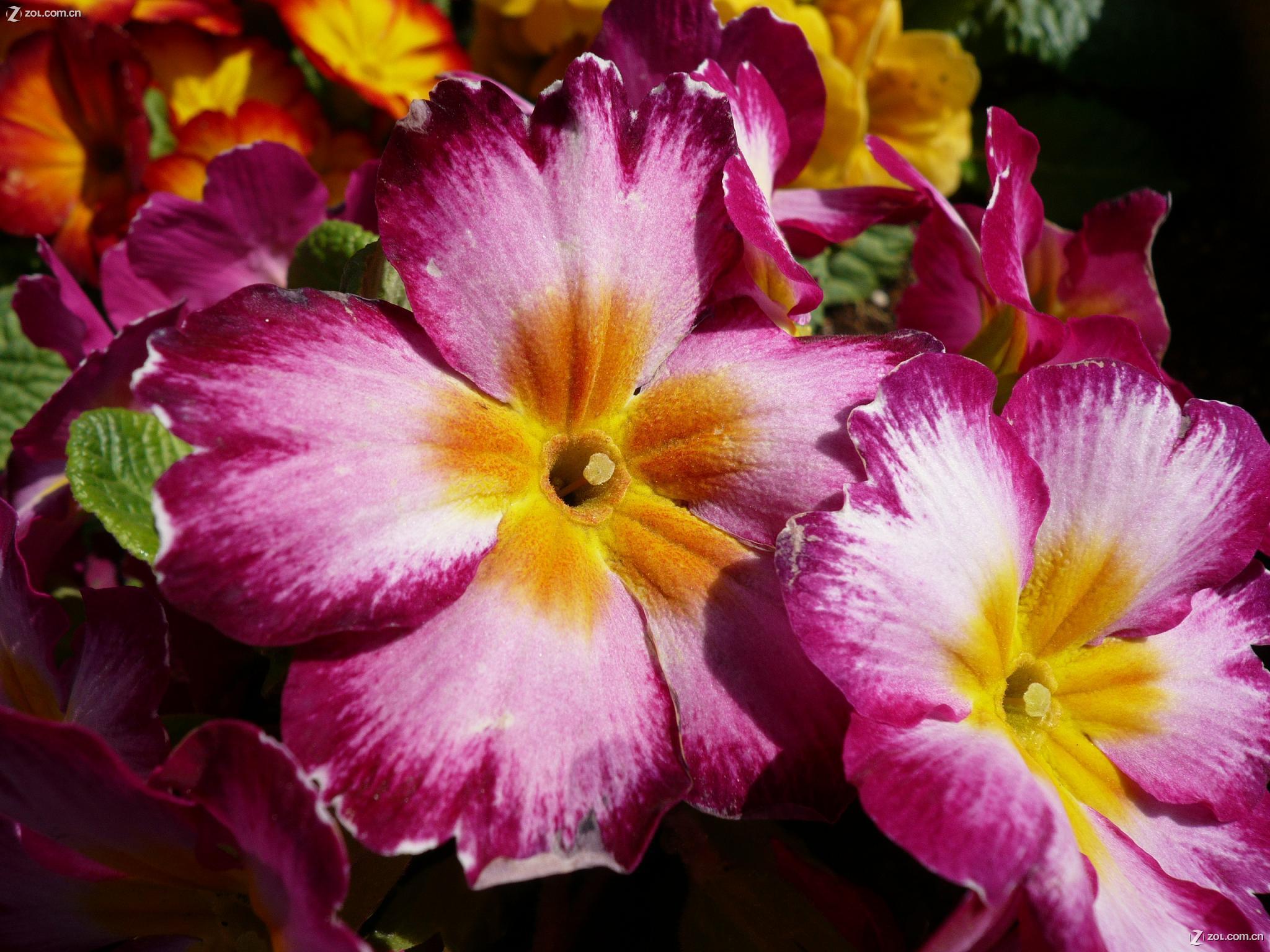 【春天到了,五颜六色的花(微距)】自然风景--zol