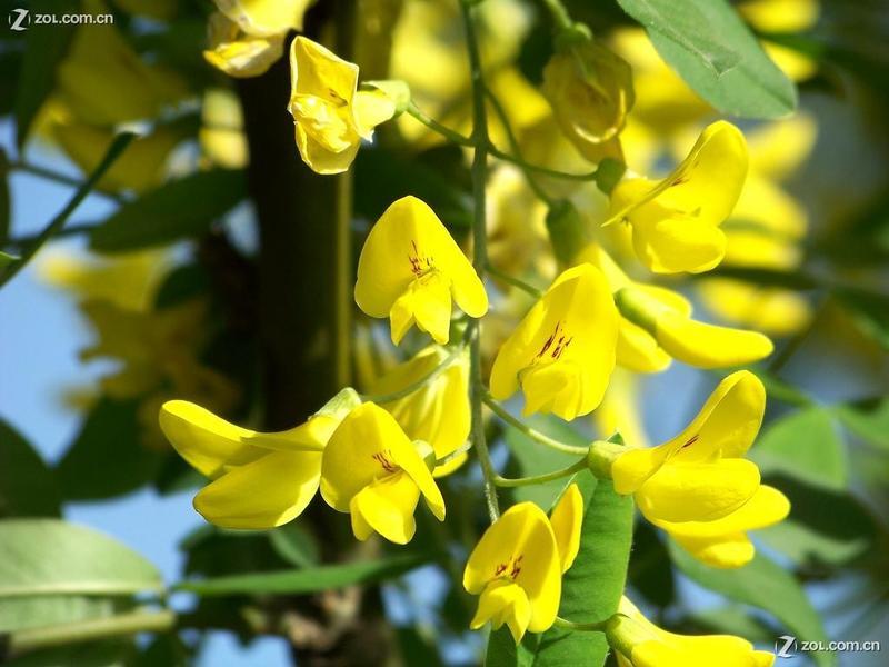 摄影论坛 摄影作品论坛 自然风景论坛 紫色槐花和黄色槐花  exif版本