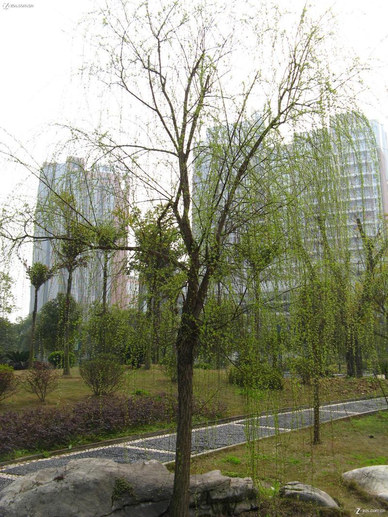 春天来了,柳树发芽