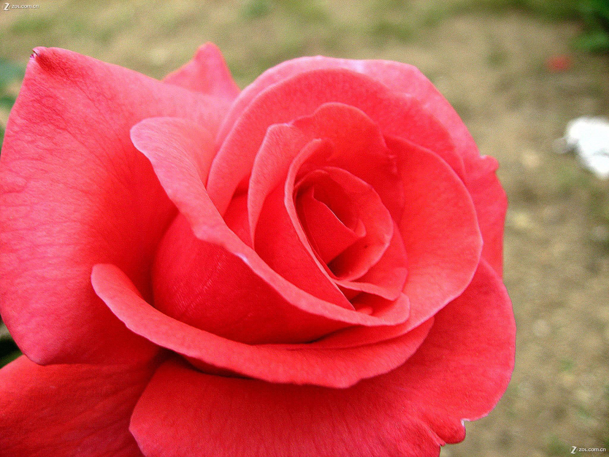 小班小红花剪纸步骤图片