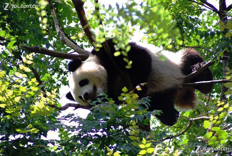 壁纸 大熊猫 动物 800_536