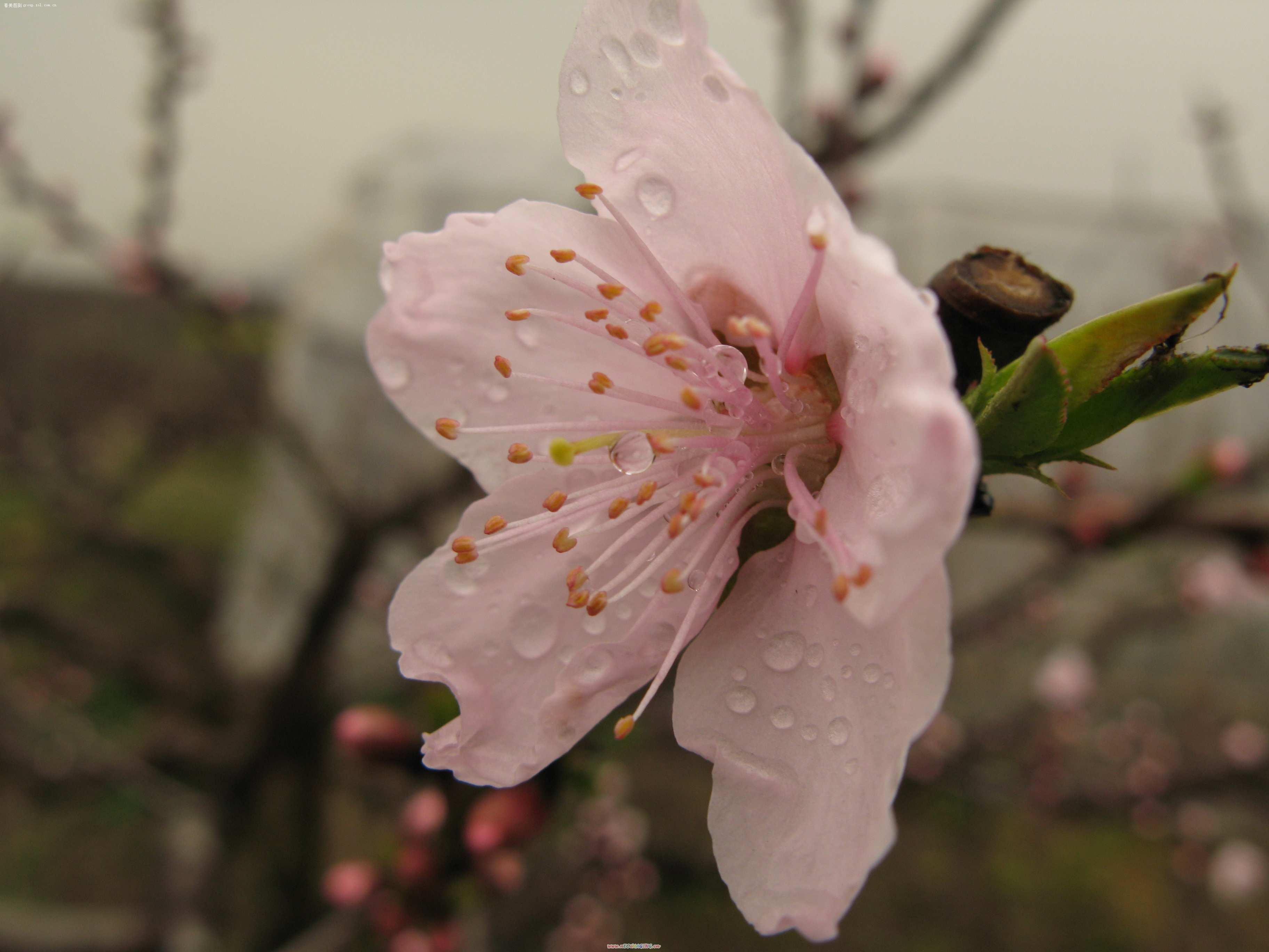 【上海桃花节】佳能 g7--zol中关村在线