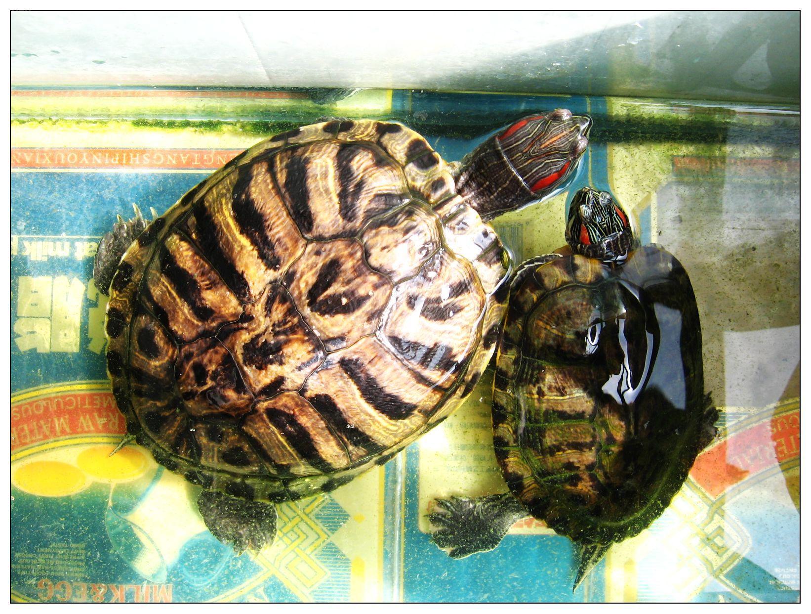 【巴西龟】- 论坛-zol中关村在线