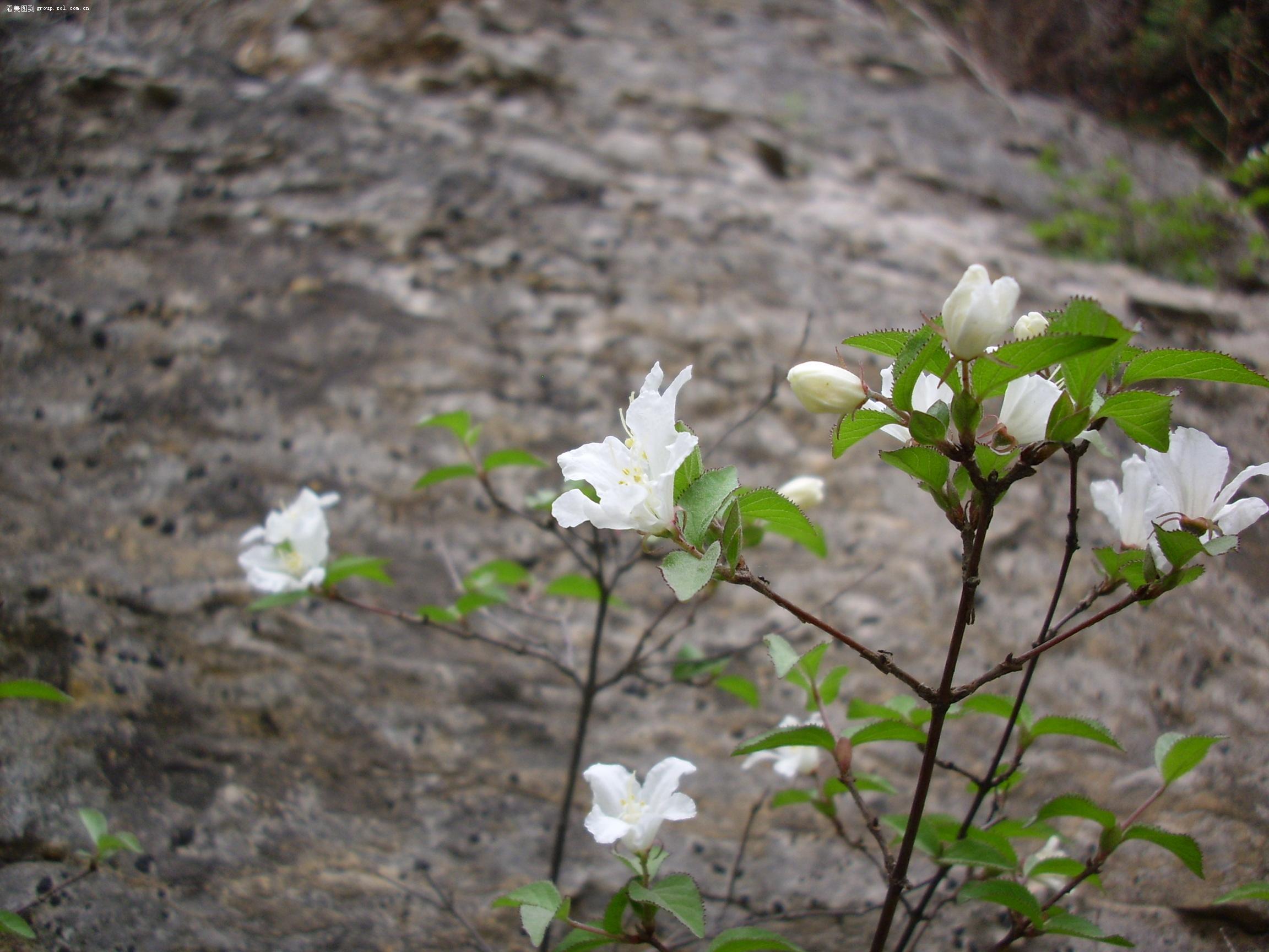 山中一种叫做四月雪的白花