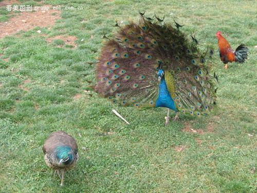 昆明野生动物园之孔雀开屏