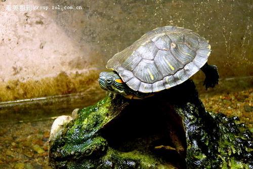 家里养的巴西龟和大头龟!