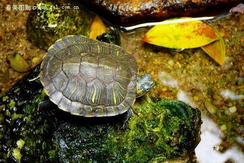 【家里养的巴西龟和大头龟!】-论坛-zol中关村在线