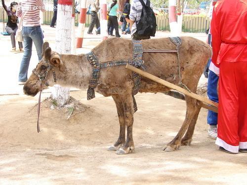 认识拉车的动物吗?