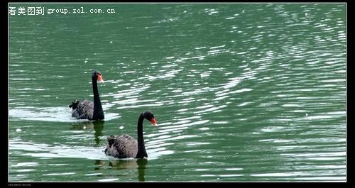 武汉动物园的天鹅-中关村在线摄影论坛