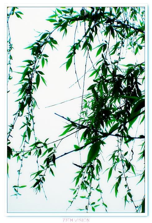 【水墨般的柳树】-论坛-zol中关村在线