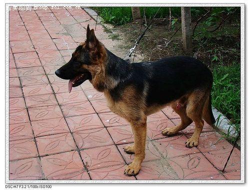 动物世界----德国牧羊犬