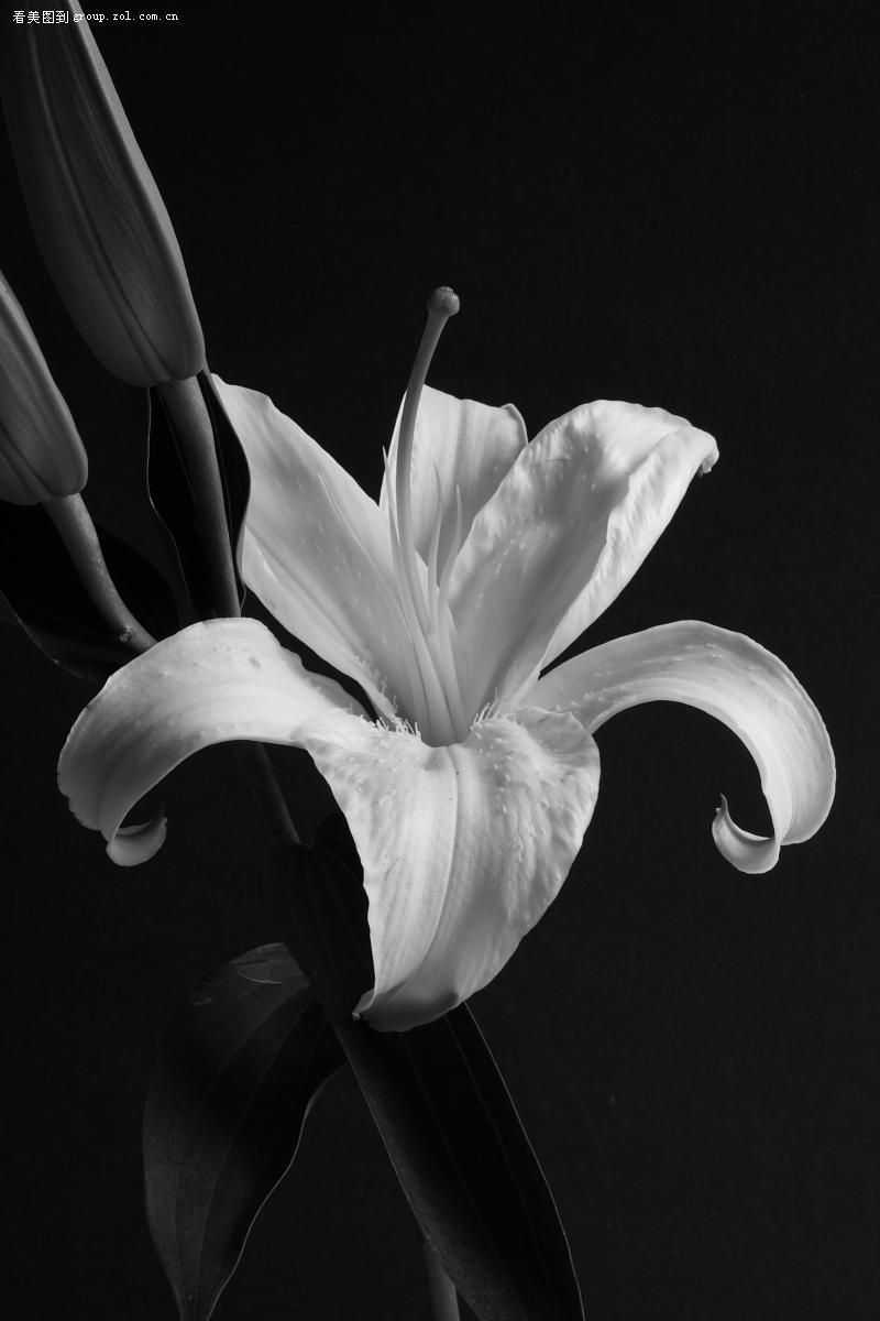 百合绽放(黑白)