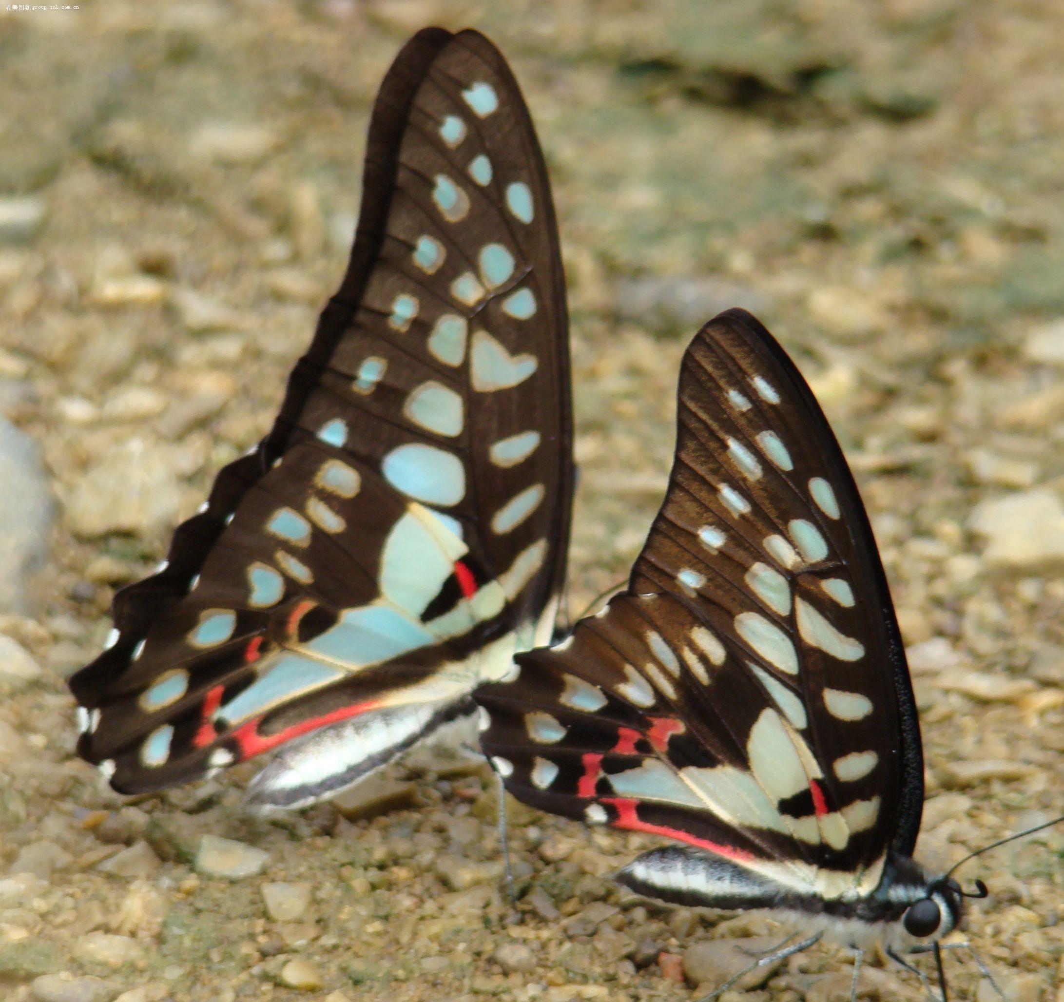 【两只蝴蝶终于发上啦】-索尼