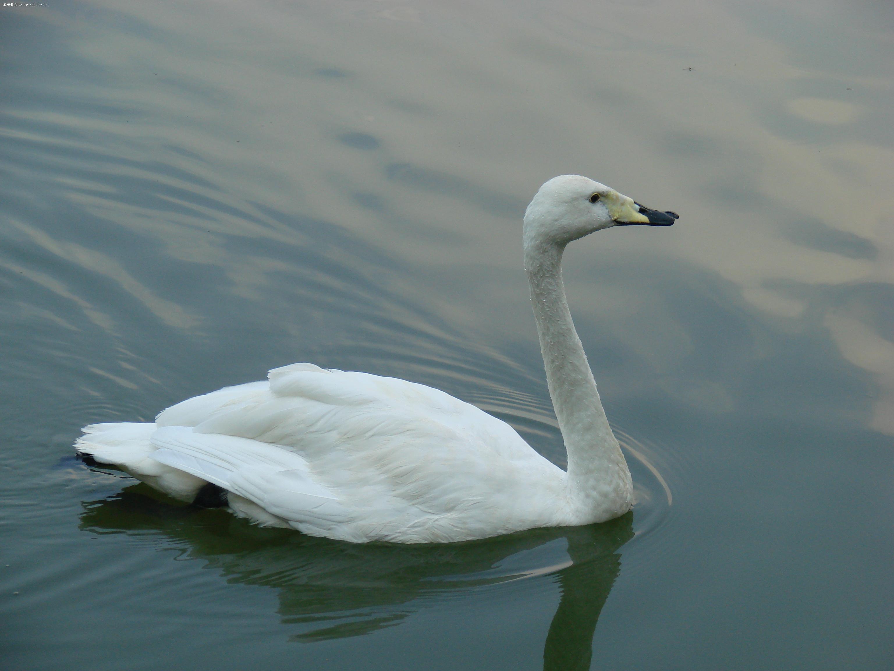 哈尔滨太阳岛—白天鹅