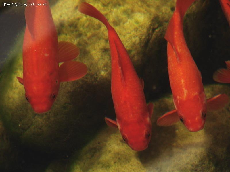 红色锦鲤素材白底